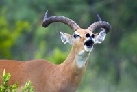 Close-up of an impala (Aepyceros melampus) Fine Art Print