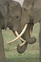 Two African elephants, Arusha Region, Tanzania Fine Art Print