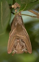 Close-up of a bat hanging from a branch, Lake Manyara, Arusha Region, Tanzania Fine Art Print