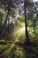 Sunbeams in dense forest, Great Smoky Mountains National Park, Tennessee, USA. Fine Art Print