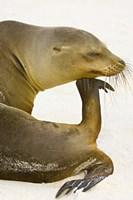 Galapagos Sea Lion (Zalophus wollebaeki), Galapagos Islands, Ecuador Fine Art Print