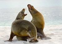 Two Galapagos sea lions (Zalophus wollebaeki) on the beach, Galapagos Islands, Ecuador Fine Art Print