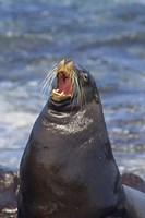 Galapagos sea lion (Zalophus wollebaeki) on the beach, Galapagos Islands, Ecuador Fine Art Print