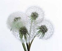 Close up of four dandelion heads in seed on stems Fine Art Print