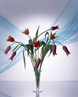 Long stemmed bouquet of dark pink tulips in a small vase draped with light blue sheer fabric Fine Art Print