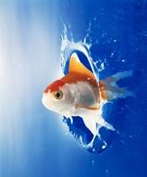 Orange, yellow and white fish flying through water splash Fine Art Print