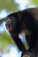 Close-up of a Black Howler Monkey (Alouatta caraya), Costa Rica Fine Art Print