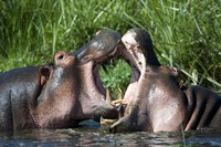 Two hippopotamuses (Hippopotamus amphibius) fighting in water, Ngorongoro Crater, Ngorongoro, Tanzania Fine Art Print