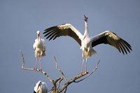 Three White storks (Ciconia ciconia) perching on branches, Tarangire National Park, Tanzania Fine Art Print