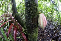 Cocoa tree in a rainforest, Costa Rica Fine Art Print