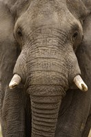 Close-up of an African elephant (Loxodonta africana) trunk, Lake Manyara, Tanzania Fine Art Print