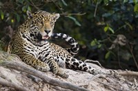 Jaguar (Panthera onca) snarling, Three Brothers River, Meeting of the Waters State Park, Pantanal Wetlands, Brazil Fine Art Print