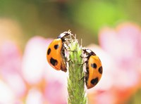 Close Up Of Two Ladybugs Fine Art Print