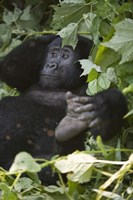 Mountain Gorilla (Gorilla beringei beringei) in a forest, Bwindi Impenetrable National Park, Uganda Fine Art Print