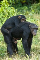 Female chimpanzee (Pan troglodytes) carrying its young one on back, Kibale National Park, Uganda Fine Art Print