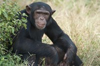 Chimpanzee (Pan troglodytes) in a forest, Kibale National Park, Uganda Fine Art Print