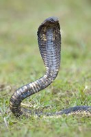 Egyptian cobra rearing up, Lake Victoria, Uganda Fine Art Print