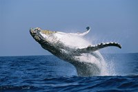 Humpback whale (Megaptera novaeangliae) breaching in the sea Fine Art Print