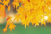 Yellow Maple Leaves, Autumn Fine Art Print