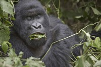 Close-up of a Mountain gorilla (Gorilla beringei beringei) eating leaf, Rwanda Fine Art Print