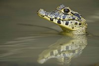 Close-up of a caiman in lake, Pantanal Wetlands, Brazil Fine Art Print