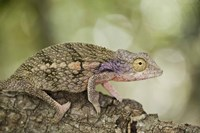 Close-up of a chameleon on a branch, Madagascar Fine Art Print