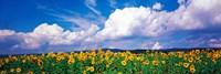 Fields of sunflowers Rudesheim vicinity Germany Fine Art Print