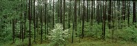Flowering Dogwood (Cornus florida) trees in a forest, Alabama, USA Fine Art Print