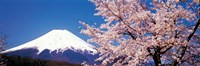 Mt Fuji Cherry Blossoms Yamanashi Japan Framed Print