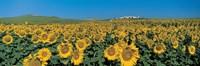 Sunflower field Andalucia Spain Fine Art Print