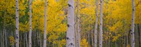 Aspen trees in Telluride, Colorado Fine Art Print