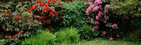 Rhododendrons plants in a garden, Shore Acres State Park, Coos Bay, Oregon Fine Art Print