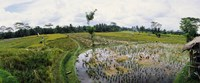 Farmers working in a rice field, Bali, Indonesia Fine Art Print