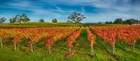 Autumn vineyard at Napa Valley, California, USA Fine Art Print