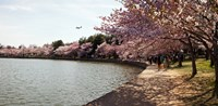 Cherry Blossom trees at Tidal Basin, Washington DC, USA Fine Art Print