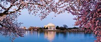 Cherry Blossom tree with a memorial in the background, Jefferson Memorial, Washington DC, USA Framed Print