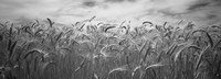 Wheat crop growing in a field, Palouse Country, Washington State (black and white) Fine Art Print