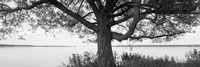 Tree on a Lake, Wisconsin (black & white) Framed Print