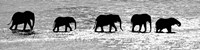 Herd of African Elephants Crossing the Uaso Nyiro River, Kenya (black & white) Fine Art Print
