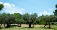 Olive trees in front of the ancient Monastere Saint-Paul-De-Mausole, St.-Remy-De-Provence, Provence-Alpes-Cote d'Azur, France Fine Art Print