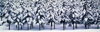 Snow covered Cedar trees Kyoto Hanase Japan Fine Art Print