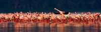 Lesser flamingos in a lake, Lake Nakuru, Lake Nakuru National Park, Kenya Fine Art Print