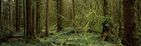 Trees in a forest, Hoh Rainforest, Olympic Peninsula, Washington State, USA Fine Art Print