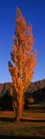 Poplar tree on Golf Course, Queenstown, South Island, New Zealand Fine Art Print
