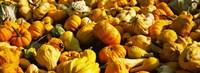 Pumpkins and gourds in a farm, Half Moon Bay, California, USA Fine Art Print