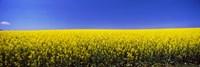 Canola field in bloom, Idaho Framed Print