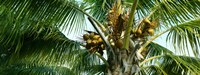 Coconuts on a palm tree, Varadero, Matanzas Province, Cuba Fine Art Print