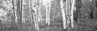 Birch trees in a forest, Acadia National Park, Hancock County, Maine (black and white) Fine Art Print