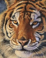 Siberian Tiger - up close Fine Art Print