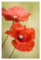 Papaver Passion Fine Art Print